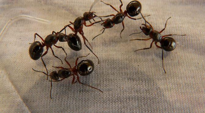 Kiến bu tinh trùng có bị làm sao không