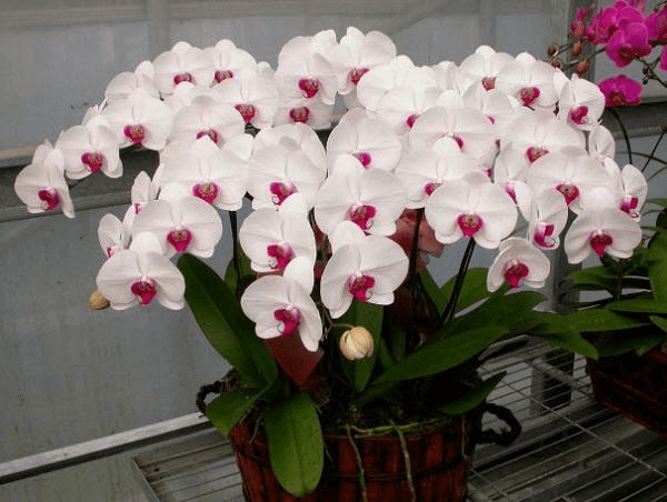Cây Phong Lan trắng tượng trưng cho sự thanh lịch, khiêm tốn