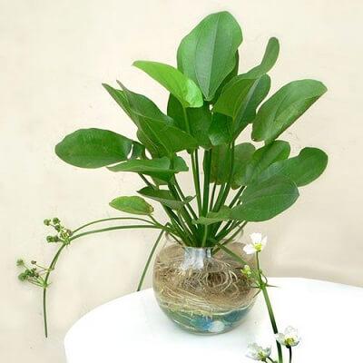 Hoa Thủy cúc tượng trưng cho sự thịnh vượng, may mắn